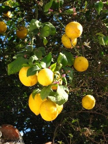 Die richtigen Zitronen