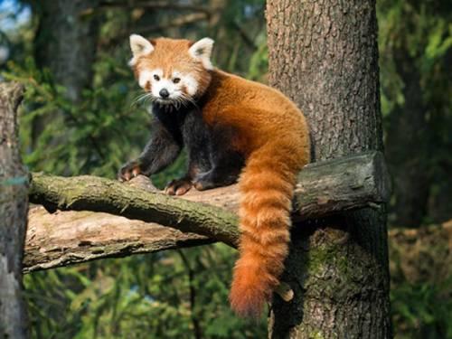 Der Kleine Panda
