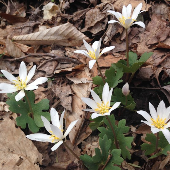 Bloodroot patch
