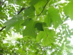 15_The largest tree in our forest is a tulip tree