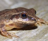 22_The last time a spring peeper was seen at the Schuylkill Center was 2002