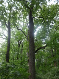 24_Our 5 largest tulip trees filter 23,095 gallons of storm water annually