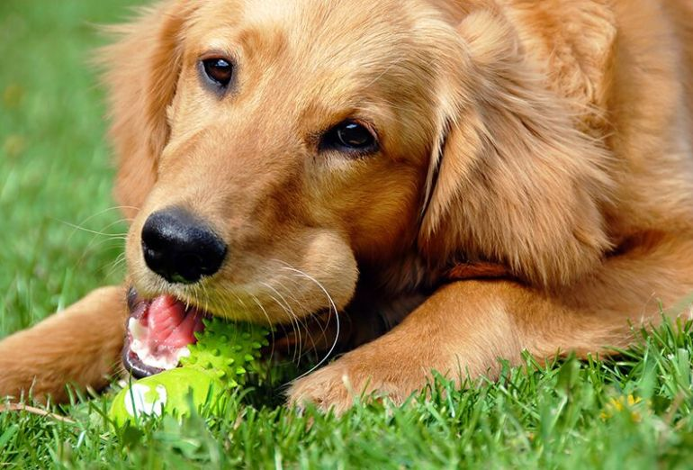 golden retriever chewing on toy