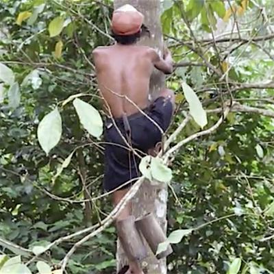 Baumkletterer sammelt Kokosblütensaft