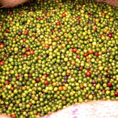 Tellicherry frisch geerntet mit einem hohen Anteil an reifen Beeren