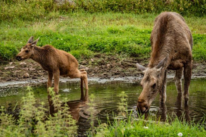 Elch in Värmland