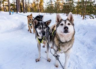 Huskies retten