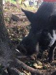 43-schwein
