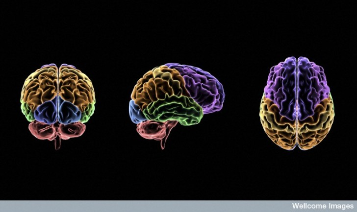 B0009529 Areas of the human brain and their functions, illustration
