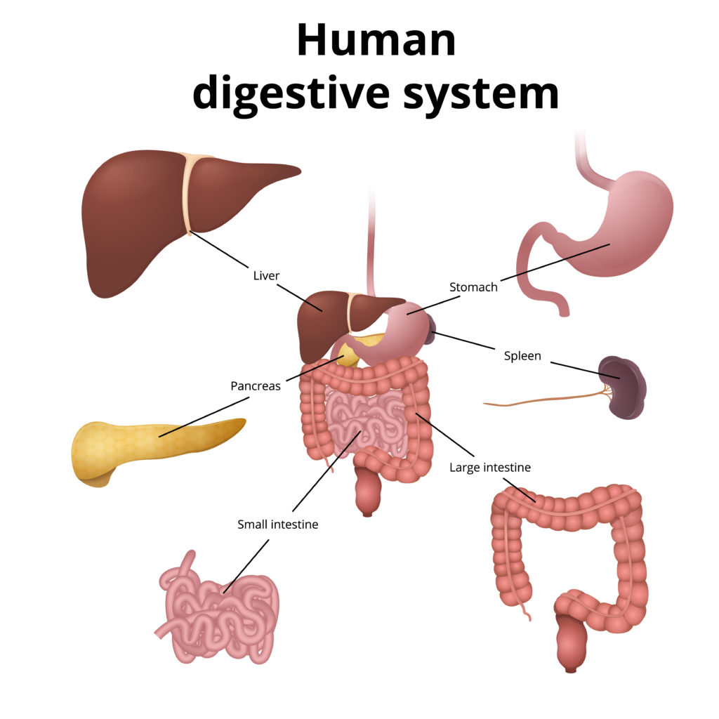 Digestive System Model