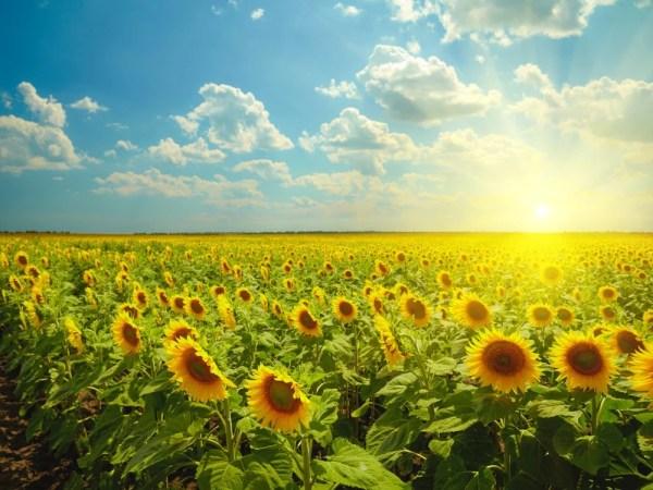 Why Do Sunflowers Always Face The Sun? » Science ABC