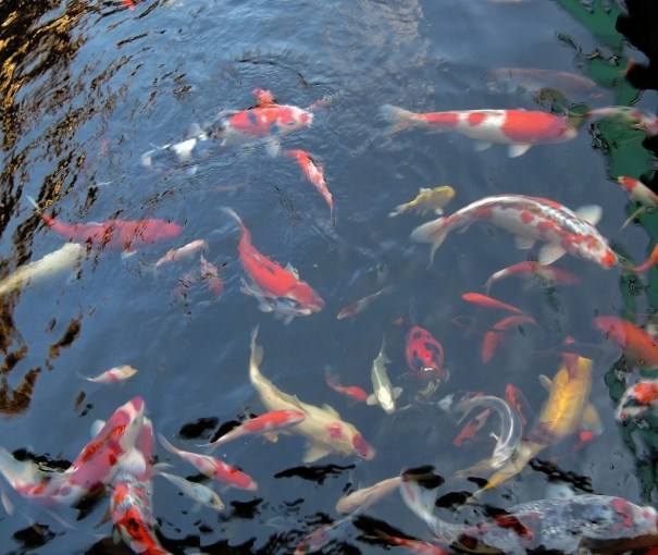 Peixe na lagoa