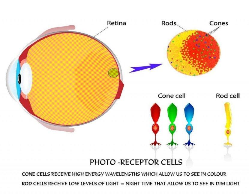 Células fotorreceptoras