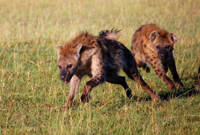 Hyenas rir