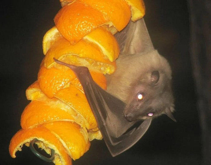 Egyptian.fruitbat