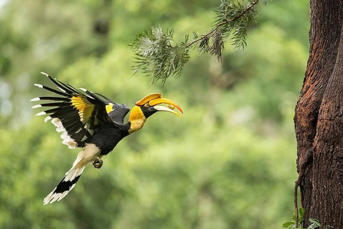 Female_Great_Hornbill_carrying_food