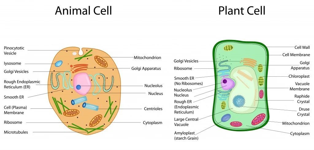 What's The Difference Between Plant And Animal Cells ...