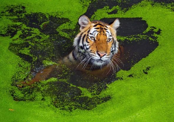 O tigre da Ásia.  - Imagem (jeep2499) s