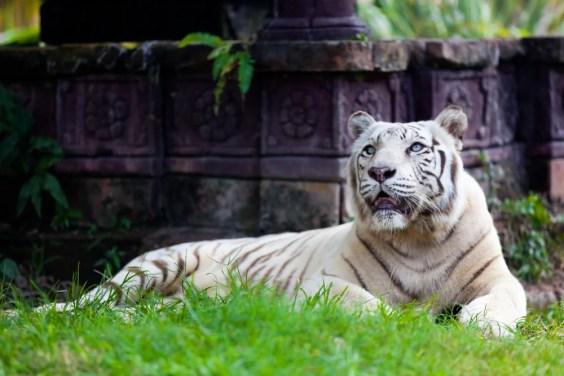 Tigre de Bengala real branco - imagem (Quinn Martin) s