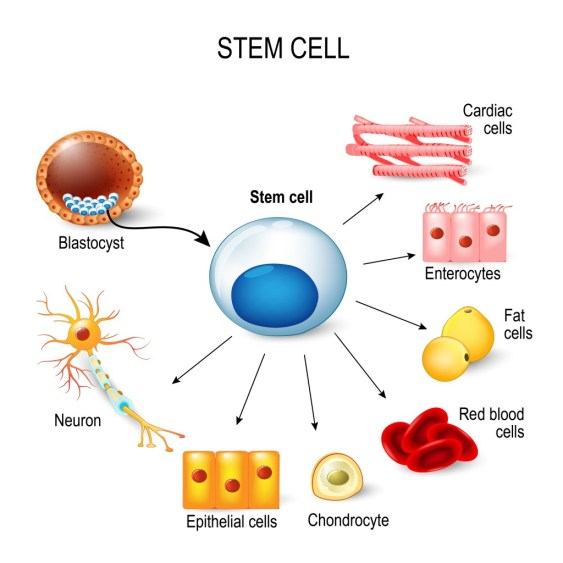 células-tronco.  Estes massa celular interna de um blastocisto.  Essas células-tronco podem se transformar em qualquer tecido do corpo (Designua) S