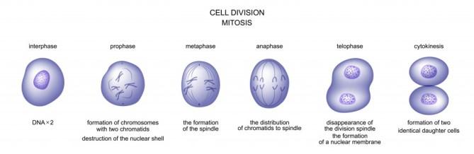 ilustração em vetor de divisão celular.  mitose.  biologia - vetor (Artemida-psy) s