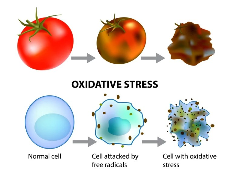 Oxidative stress and cellular aging. Free Radicals(Sakurra)s