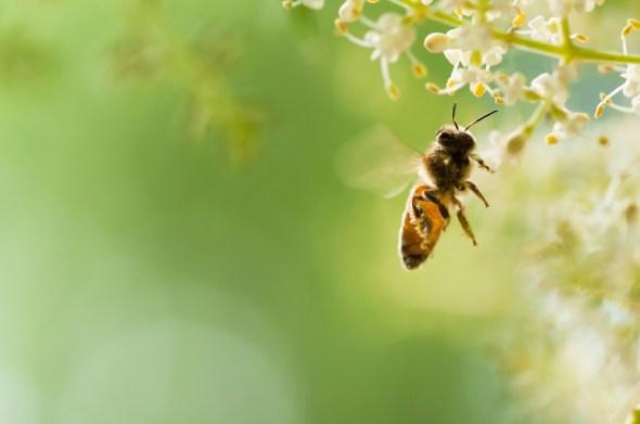 abelha voadora (Feng Lu) s
