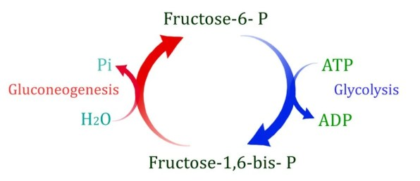 cópia da gliconeogênese e glicólise