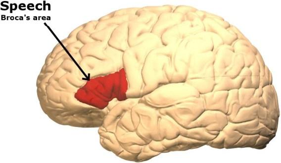 Parte do cérebro responsável pela fala. (Crédito da foto: Life Science / Wikimedia Commons)