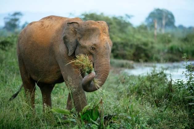 Um elefante macho sem presa caminha pelo Parque Nacional Udawalawe no Sri Lanka (Bene_A) S
