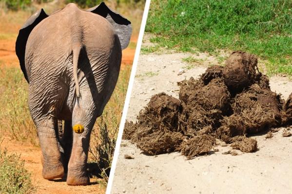 Um elefante faz cocô mais de 15 vezes em um dia