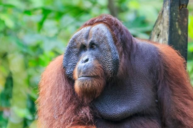 orangotango ou pongo pygmaeus é o único grande asiático encontrado na ilha de Bornéu e Sumatra (Yusnizam Yusof) s