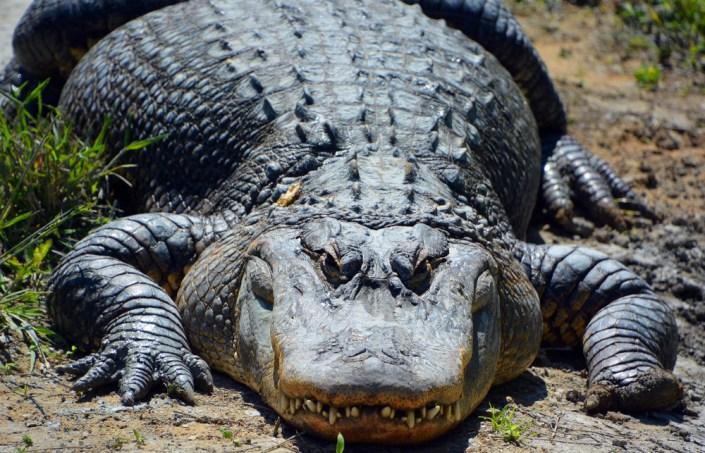 Um crocodilo é um crocodiliano do gênero Alligator da família Alligatoridae (meunierd) s