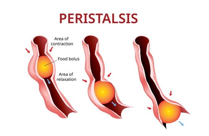 Digestão e peristalse.  Esôfago e estômago ao intestino (Akarat Phasura) s