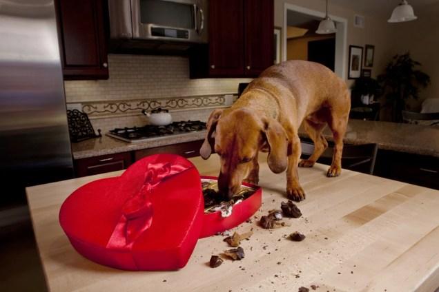 Cachorro comendo chocolates em caixa em forma de coração (Armadillo Stock) S