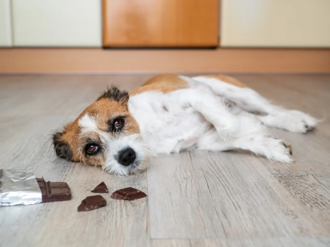 Cachorro terrier com chocolate deitado no chão, dor de estômago (Sonja Rachbauer) s