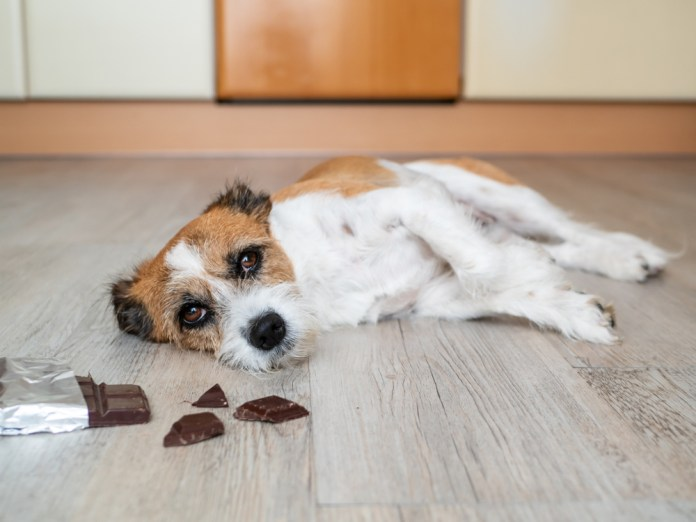 Little terrier dog with chocolate lying on the floor, stomach ache(Sonja Rachbauer)s