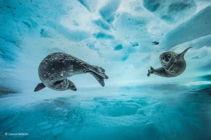 in east antarctica a mother weddell seal introduced her pup to the underwater frozen labyrinth