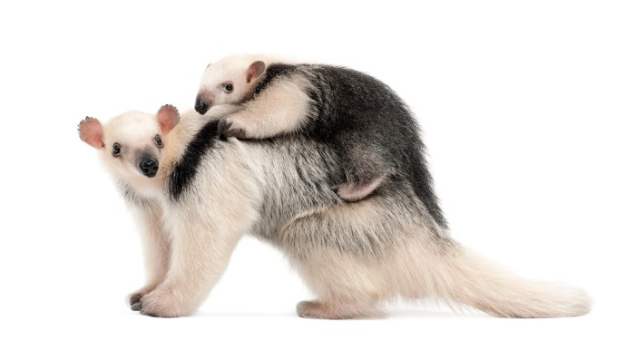 A lesser anteater and its young (GlobalP/iStock)
