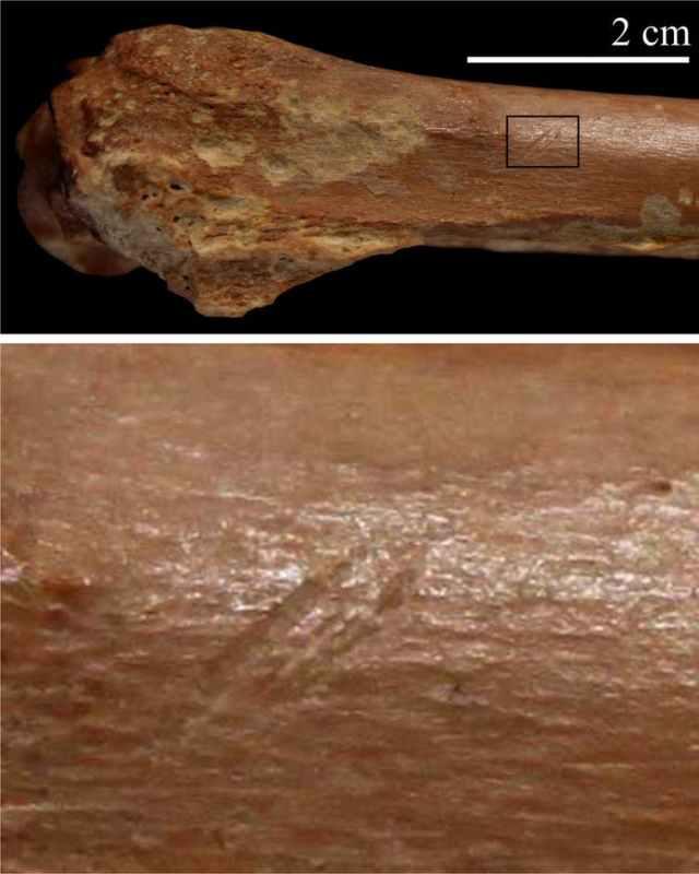 Strumento di pietra segna sullo scheletro animale. (I. Caceres)