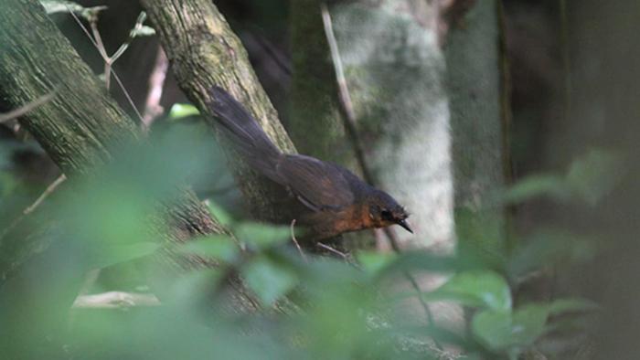 bristle bird 2