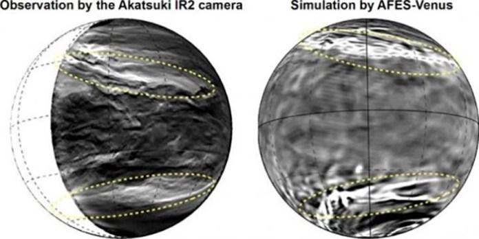 gestreiften Venus 2
