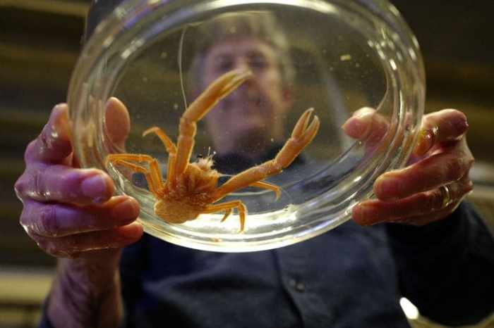 Sanford holds a Pelagic red crab, a newly arrived warm water marine species. (Michael Robinson Chavez/The Washington Post)