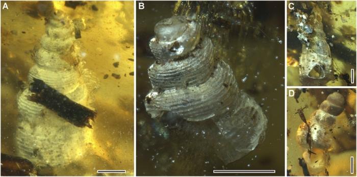 amber sea snails