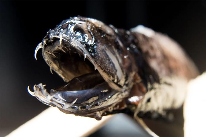 deep sea dragonfish teeth