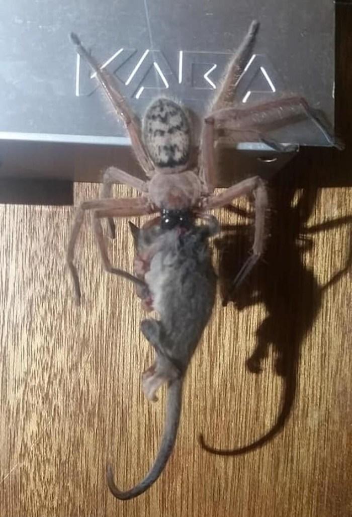 pygmypossumspidersnack02