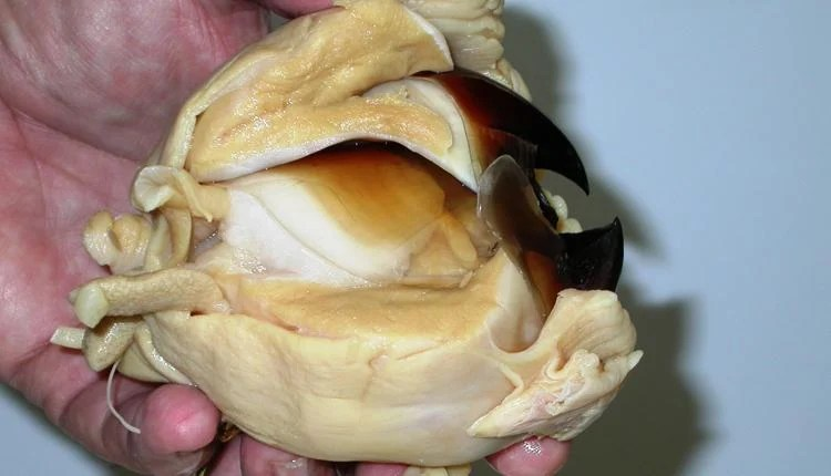 Extracted giant squid beak