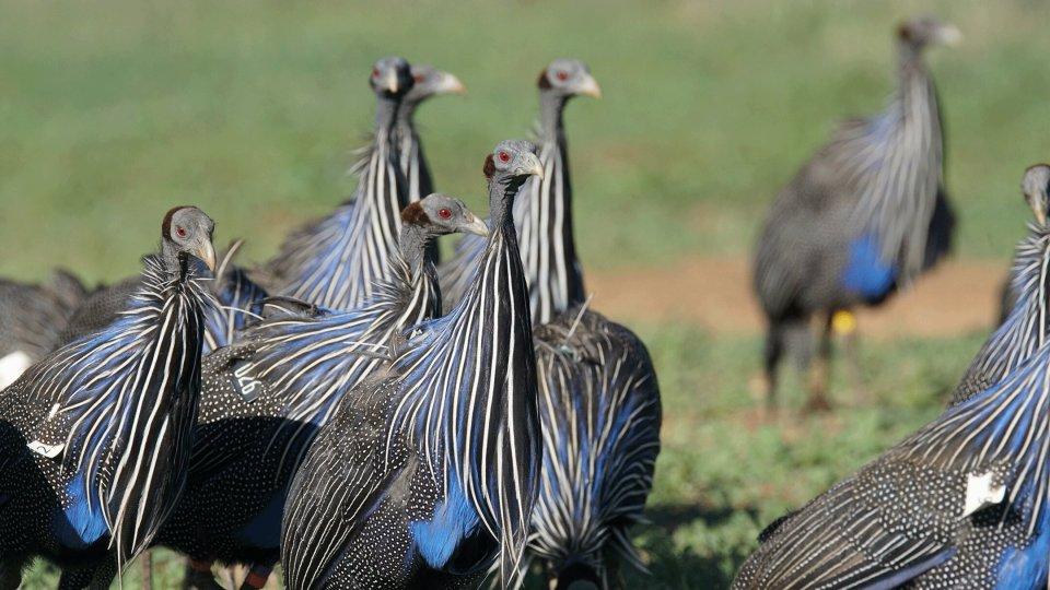 Vulturine guineafowl перемещаться по ландшафту в больших группах.  (Джеймс Кларевас)