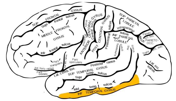 Gray726 inferior temporal gyrus