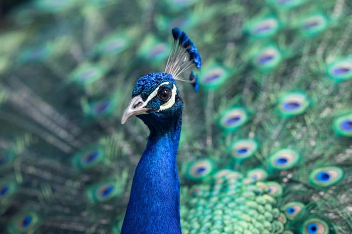 peacock body image structural colour